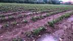 Burdur'da fasulye tarlaları zarar gördü