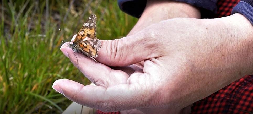 Burdur'dan kelebekler göç etti