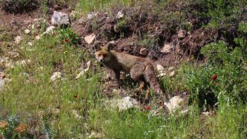 Burdur'da tedavisi tamamlanan tilki doğaya salındı